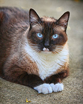 James BO  Insogna - Siamese Cat Stare Down
