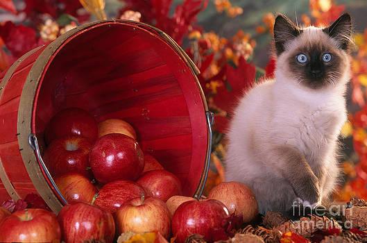 Alan and Sandy Carey - Siamese Kitten