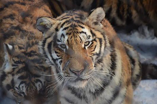 Siberian Tiger by Brett Geyer