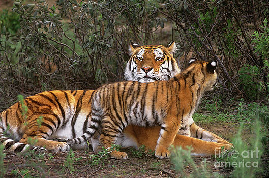 Dave Welling - Siberian Tiger Cub Guarding Mom Wildlife Rescue