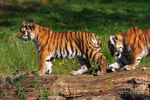 Nick  Biemans - Siberian tiger cubs