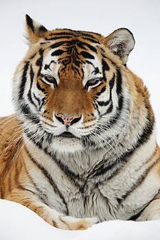 Alex Sukonkin - Siberian Tiger in a snow