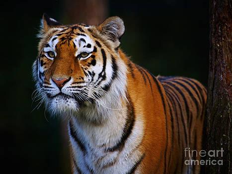Nick  Biemans - Siberian tiger