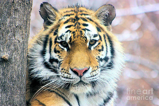 Nick Gustafson - Siberian Tiger