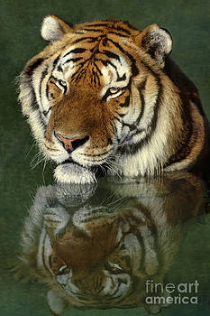 Dave Welling - Siberian Tiger Reflection Wildlife Rescue