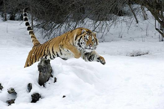 Sandra Bronstein - Siberian Tiger