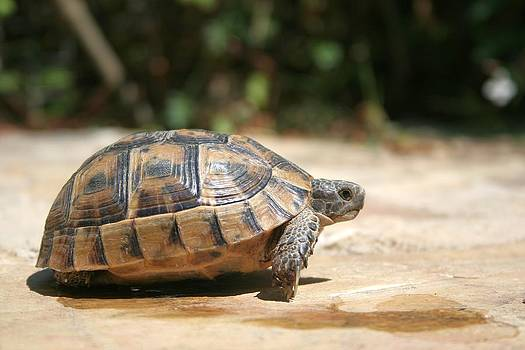 Tracey Harrington-Simpson - Sideview of A Walking Turkish Tortoise