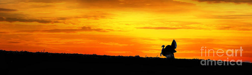 Dan Friend - Silhouette wild turkey in field at sunset panoramic