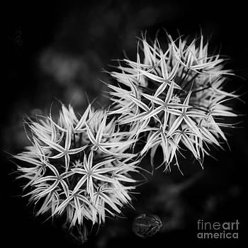 Silver Puff by Tamara Becker