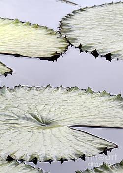 Sabrina L Ryan - Silvery Sage Green Lily Pads