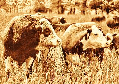 Simmental Bull 3 by Larry Campbell