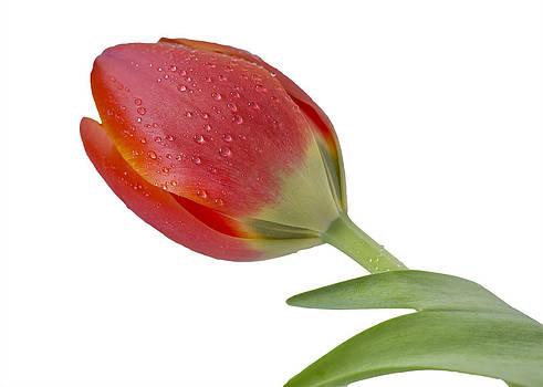 Simple Tulip by Mariola Szeliga