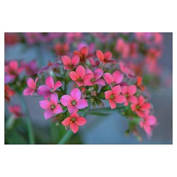 Simply Kalanchoe by Penni D'Aulerio