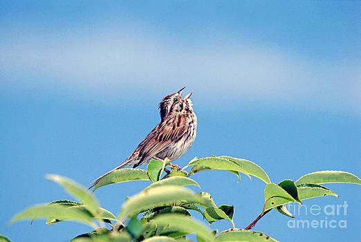 John W Bova - Singing Song Sparrow