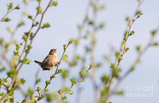 Singing Wren by Kathryn Bell
