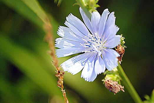 Single Blue Flower by Stephanie Grooms