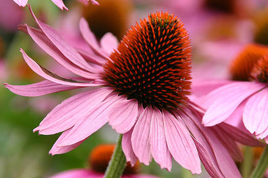 Single Cone Flower Beauty by Denyse Duhaime