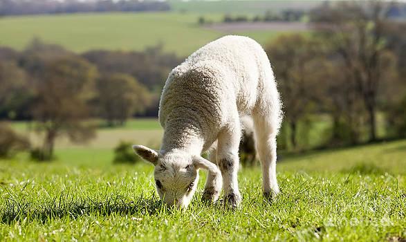 Simon Bratt Photography LRPS - Single lamb eating grass