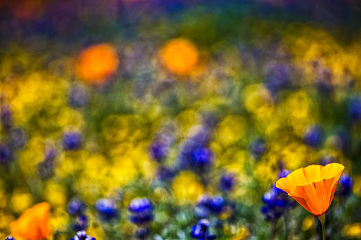 Single Poppy by Janice Sullivan