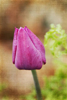 Single Purple Tulip In The Morning by Denyse Duhaime