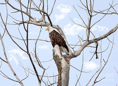 Sitting Eagle by Lori Tordsen