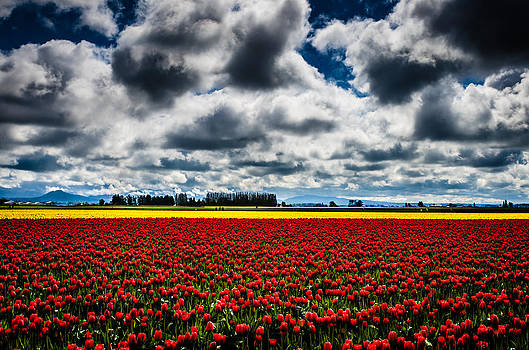 Skagit Valley Tulips by Brian Xavier
