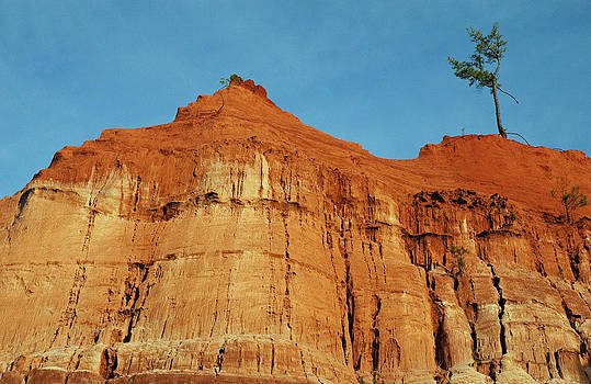 Skyward Tree Providence Canyon State Park by Bruce Gourley