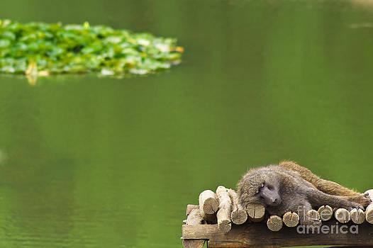 Angela Doelling AD DESIGN Photo and PhotoArt - Sleeping Baboon