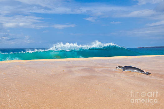 Sleeping Monk Seal at Papohaku Beach in Molokai Hawaii  by Christy Woodrow