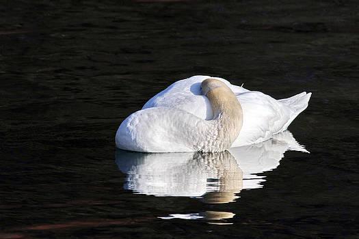 Sleeping Swan by Jim Nelson