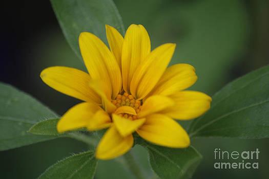 Amanda Collins - Small Sunflower