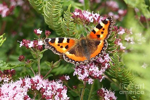 Small Tortoiseshell Butterfly on Marjoram by Elizabeth Debenham