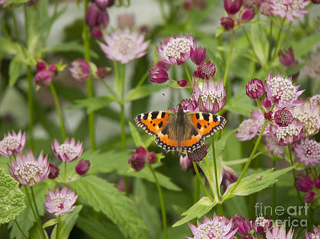 Small Tortoiseshell Butterfly on Astrantia by Elizabeth Debenham
