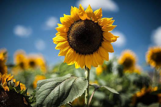 Smile Sunflower by Jason Bartimus