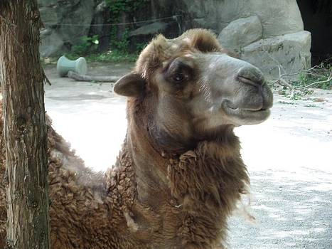 Smiling Camel by Loretta Orr
