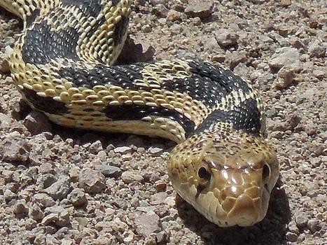 Snake in the Desert by Donna Jackson