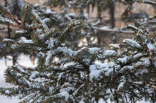 Snow Covered Branches by Brett Geyer