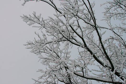Snow Covered Branches by Laurie Poetschke