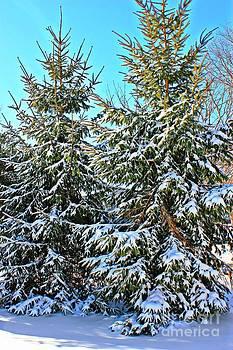 Snow Covered Pines by Judy Palkimas