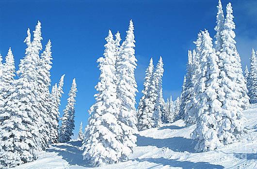 Jim Steinberg - Snow Covered Trees Colorado