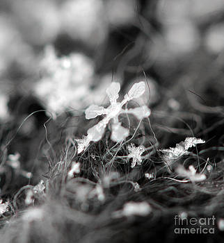 Snow Flower by Stacey Zimmerman