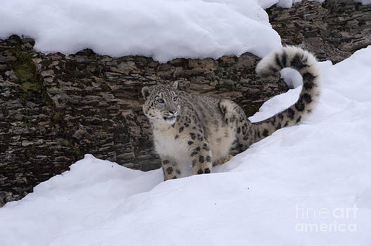 Sandra Bronstein - Snow Leopard