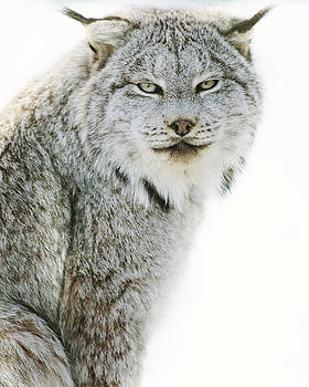 Snow Lynx by Irene Suchocki