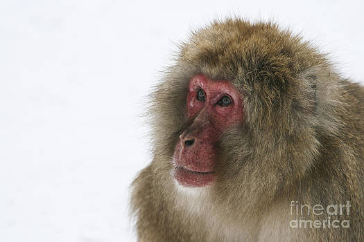 Snow Monkey Wonder by Brandon Nadeau