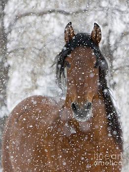 Snow Stallion by Carol Walker
