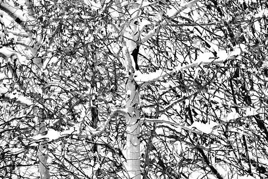 Jon Burch Photography - Snowy Aspen