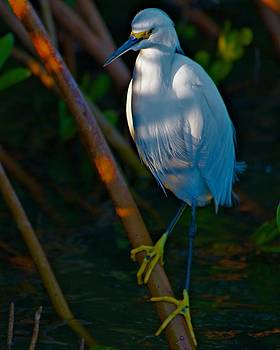 Snowy Egret in Shadow by Jay Campbell