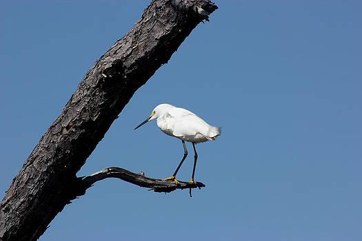 Snowy Egret by Laurel Butkins