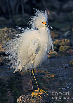 Snowy Egret Show Off by Larry Nieland