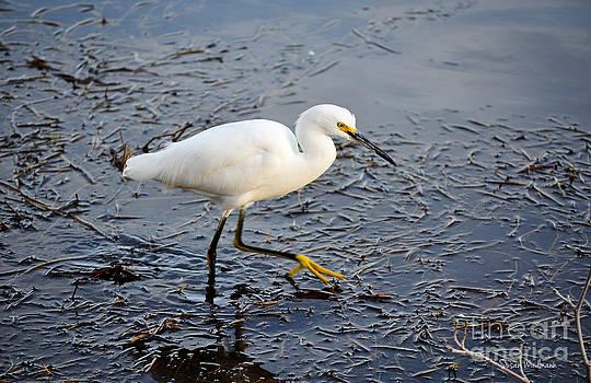 Susan Wiedmann - Snowy Egret Stalking Its Dinner